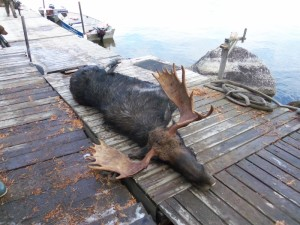 Bull Moose Hunt at Timber Point Camp in Ontario Canada