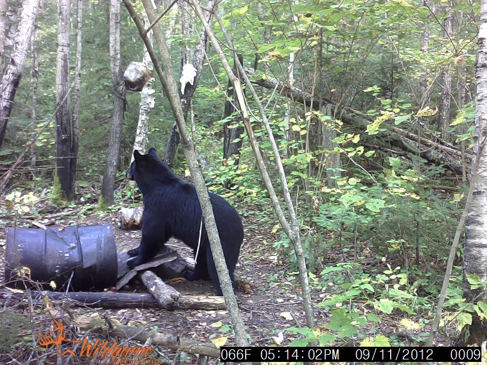 Bear caught on Camera hitting a baited stand at timber point camp in Ontario Canada