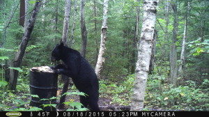 Black Bear caught on camera hitting a bait at Timber Point Camp in Ontario Canada