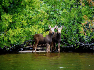 Free Baby Moose Calf Twins Desktop Download at Timber Point Camp in Ontario Canada