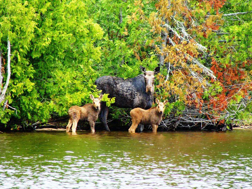 Moose at Timber Point Camp in Ontario Canada