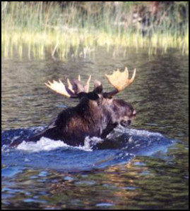 It is not uncommon to see moose all over Aerobus lake at Timber Point Camp